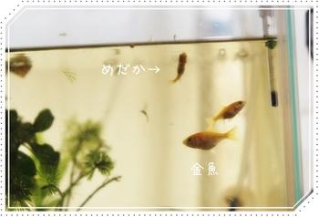 20130627-013-kingyo.JPG